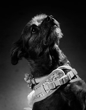 Portrait of Dog Athena